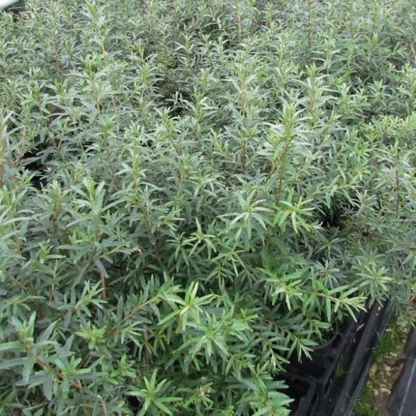 Pollmix, Sanddorn, männliche Befruchterpflanze im 5 Liter Topf, ca. 120 cm groß