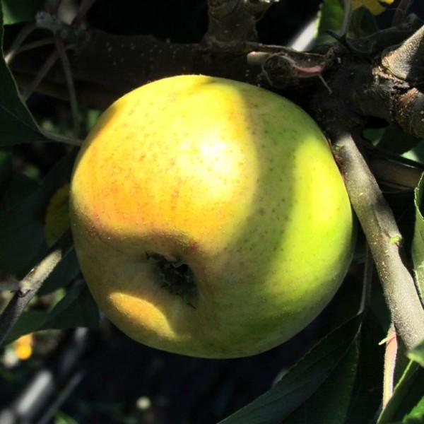 Tannenkrüger Lippische Regionalsorte Apfelbaum Hochstamm 180 cm Stamm wurzelnackt Unterlage Sämling