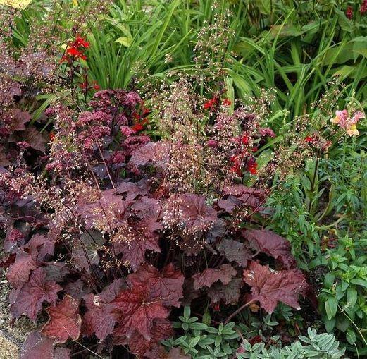 3 x Staude Rotblättriges Silberglöckchen Palace Purple Heuchera micrantha, im 0,5 Liter Topf
