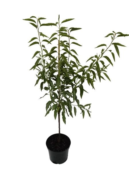 Pfälzer Fruchtmandel Süßmandel selbstfruchtbare Süßmandel Busch 150-170 cm Pflanze 10 Liter Topf