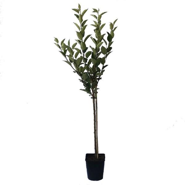 Apfelbaum Ananasrenette, Zwergapfelbaum Balkonobst Terrassenobst 100-120 cm 5 Liter Topf M9