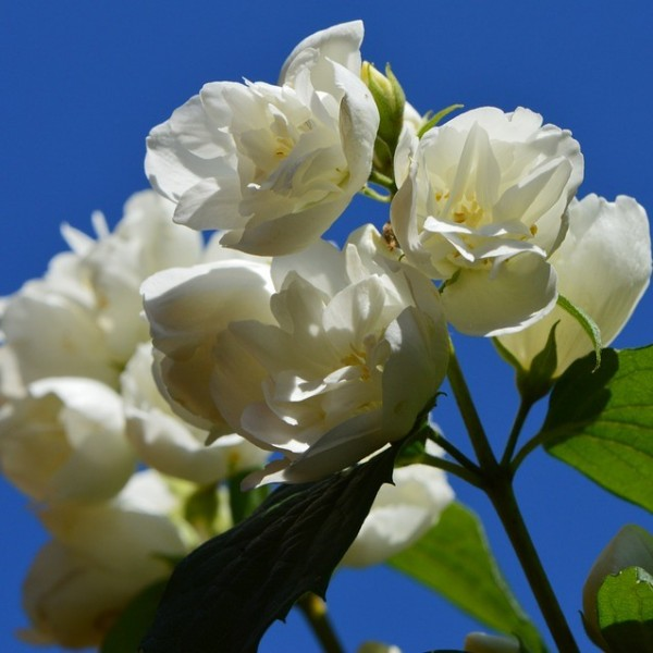 Pfeifenstrauch Duftjasmin Snowbelle weiße gefüllte leicht duftende Blüte ca. 30-40 cm 3 Liter Topf