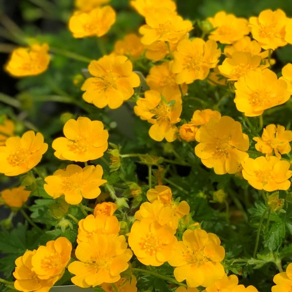 Frühlings Fingerkraut Potentilla neumanniana Orange goldgelbe Blüte April-Mai Staude im 0,5 L Topf