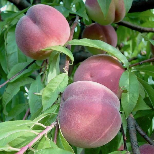 Pfirsichbaum Früher Roter Ingelheimer Pfirsich weißfleischig Halbstamm ca. 170-200 cm 9,5 L Topf