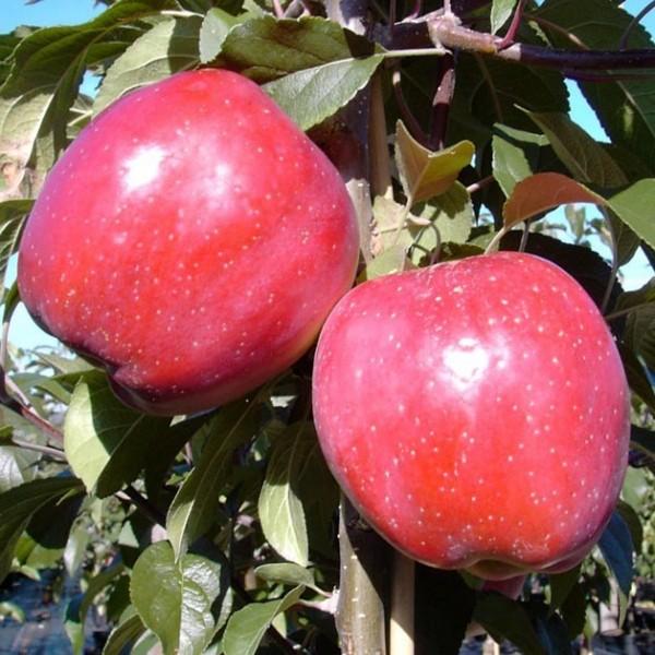 Apfelbaum Gloster süßsäuerlicher Winterapfel großer Apfel Halbstamm 170-200 cm 10 Liter Topf M25