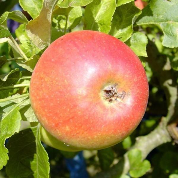 Alkmene Apfelbaum Herbstapfel allergikergeeignet Buschbaum ca. 120-150 cm 10 Liter Topf MM111