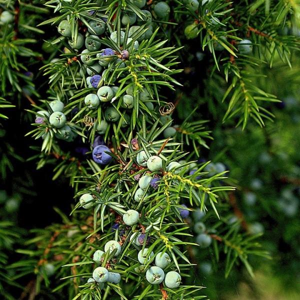 Heidewacholder Gewöhnlicher Wacholder mit Beeren Juniperus communis ca. 30-40 cm im 5 Liter Topf