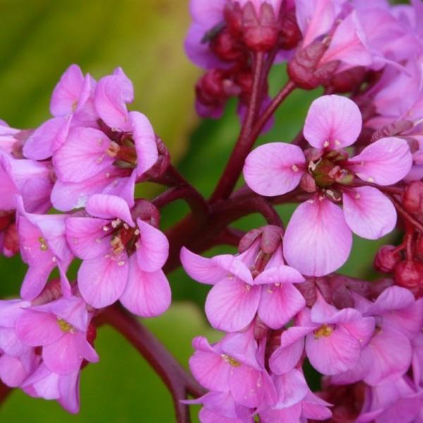 Bergenie Bergenia Hybride Herbstblüte hell-violettrosa im April-Mai, Sept. Staude im1 Liter Topf