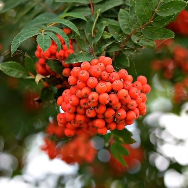 Eberesche Vogelbeere Sorbus aucuparia Wildfruchtgehölz