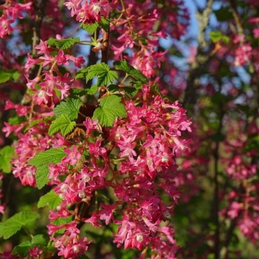 Zierjohannisbeere King Edward VII, Ribes sanguineum rote Traubenblüten, ca. 40-60 cm im 3 Liter Topf