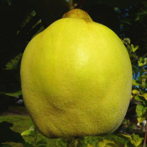 1a-plant Tafelquitte Ayva ® süße Shirin Quitte Quittenbaum Halbstamm 170-200 cm 10 Liter Topf Qu.A