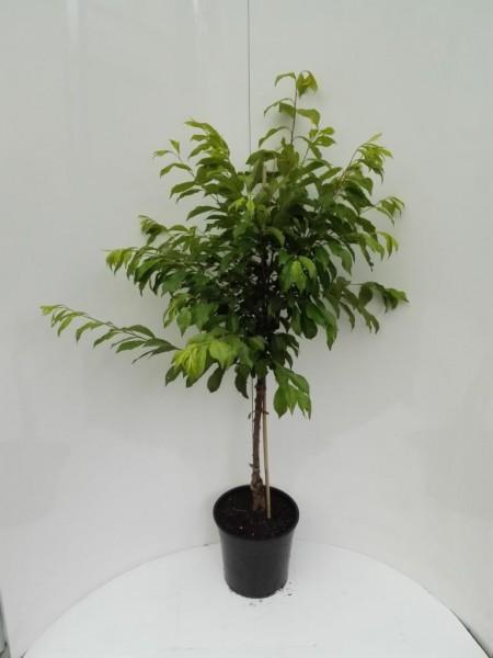 Shiro, Japanische Pflaume Buschbaum gelbe Frucht ca.120-150 cm 7,5 Liter Topf Unterlage Brompton